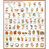 hallucinogenic-mushrooms-identification