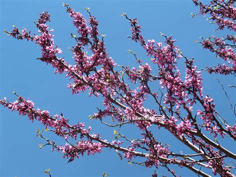 foto di ci fioriti sono fioriti gli alberi di giuda fiorievecchiepezze