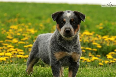 dogs for sale lancaster pa duke blue heeler puppy for sale in lancaster pa breeds picture