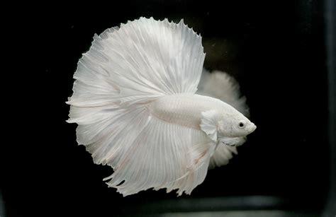 albino betta fish picture    solid white halfmoon