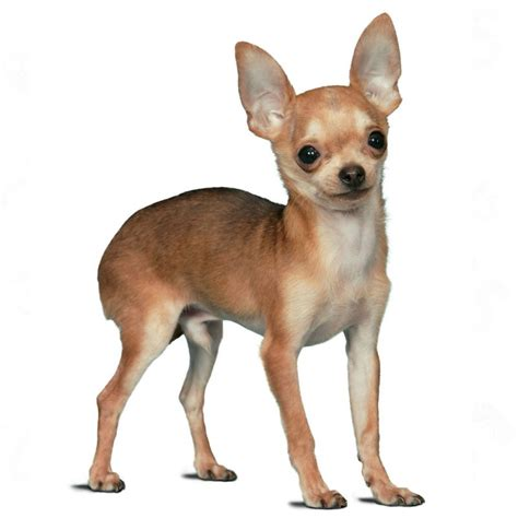 royal canin chihuahua puppy royal canin chihuahua junior great deals at zooplus