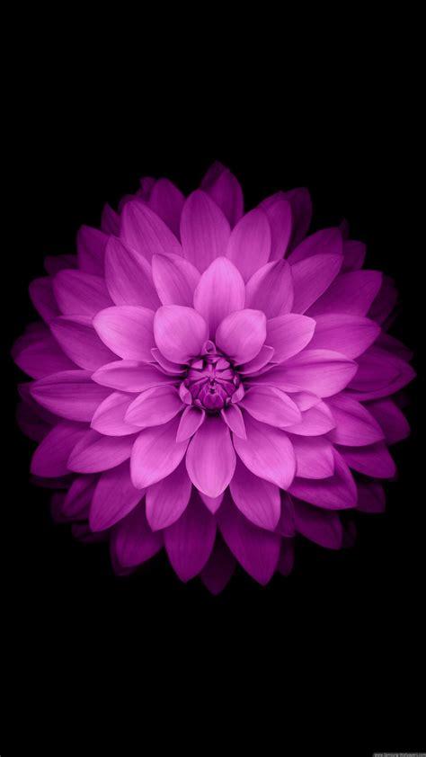 purple flower black background wallpapers hd desktop