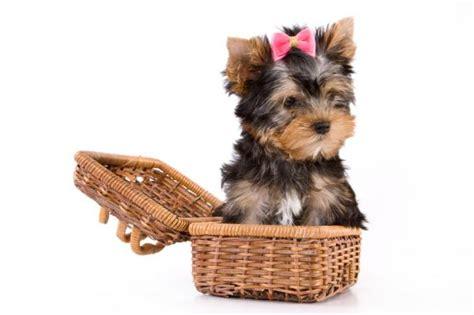 perros para vivir en un piso perros para tener en un piso peque 241 o