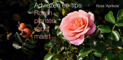 Rozen Snoeien Wanneer by Free Rozen Planten Vanaf Maart With Wanneer Snoeien Rozen