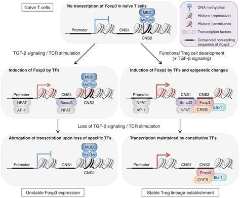 frontiers the of regulatory t the gallery for gt nucleosome histone