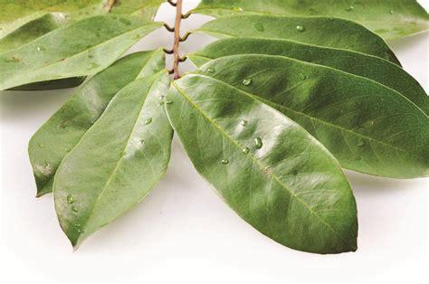 sejuta manfaat daun sirsak  kesehatan tubuh
