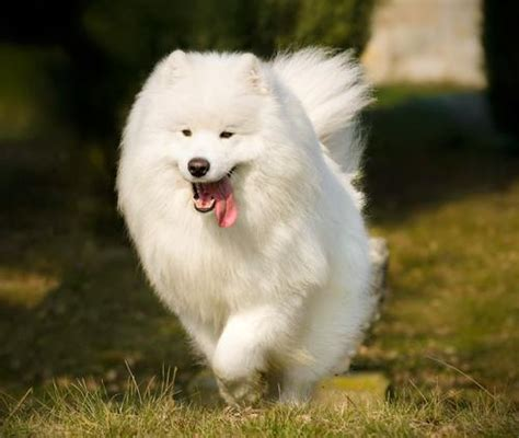fluffiest breeds the 10 fluffiest breeds iheartdogs