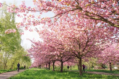 Cherry Tree 2015 Parents Guide Cherry Blossoms In Germany
