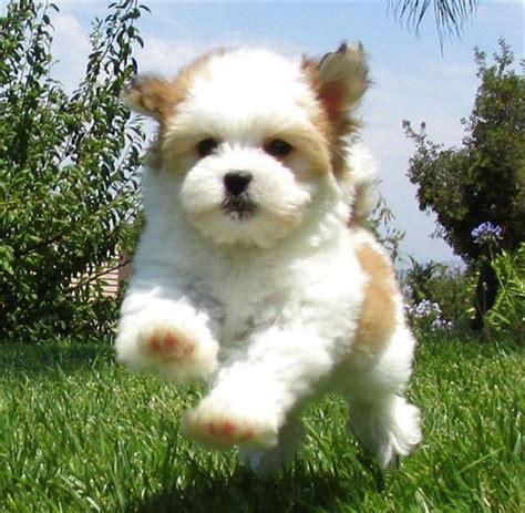 lifespan of havanese dogs 25 best ideas about havanese puppies on puppy breeds cockapoo