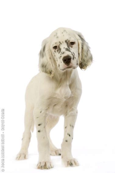 english setter male dog names 60 best images about white dog on pinterest