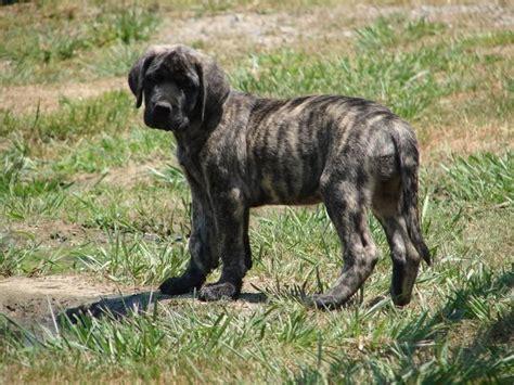 brindle bullmastiff puppies best 25 brindle mastiff ideas on mastiff