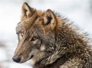 les loups attaquent ils encore les enfants eco lo