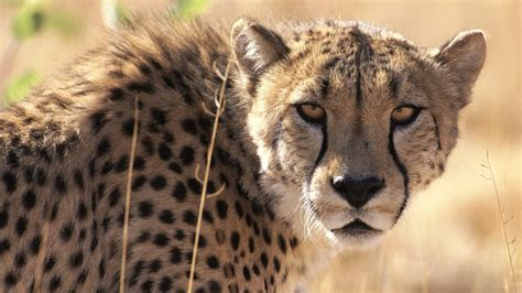 south african cheetah simple english wikipedia the free cheetah africa sa guided tours