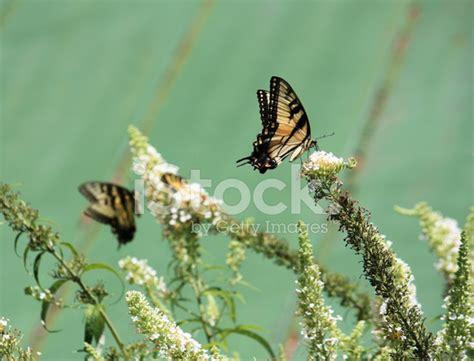 Gamis Buterfly Premium White Pasmina butterfly on white flowering bush stock photos freeimages
