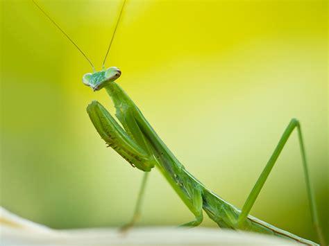 Praying Mantis L by Praying Mantis Wallpapers Animals Wiki