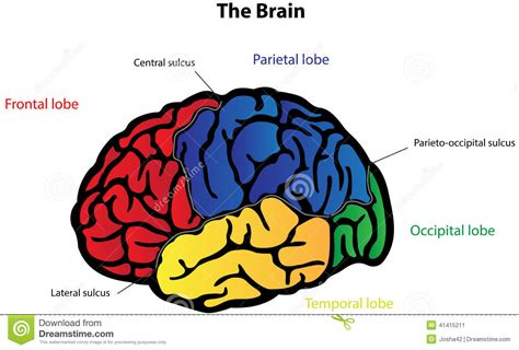 brain diagram for brain diagram labeled for www pixshark images
