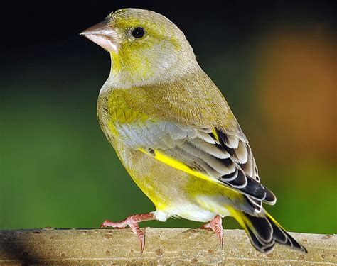 Sarang Burung Finch Kenari Dan Sejenisnya ef alternatif untuk finch dan kenari klub burung