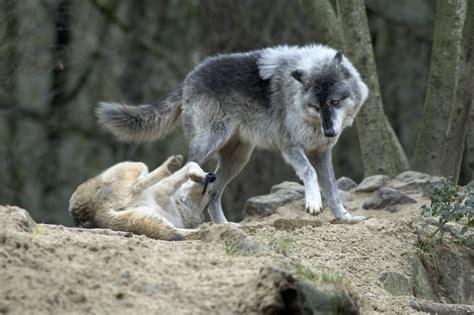 A R A N Wolfe view topic a n e w w o r l d wolf open