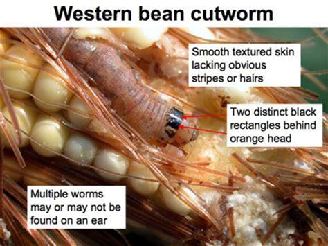 august 20 2010 issue 21 pest crop newsletter