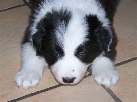 black and white border collie puppy black collie puppy www imgkid the image kid has it