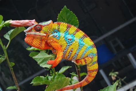 The Chameleon by Chameleons Tricia Through The Looking Glass