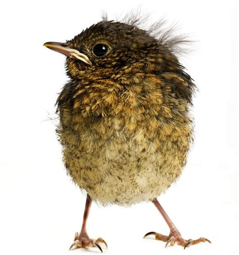 rescued birds ohio 17 best images about nesting bird s nest eggs fledglings on passerine