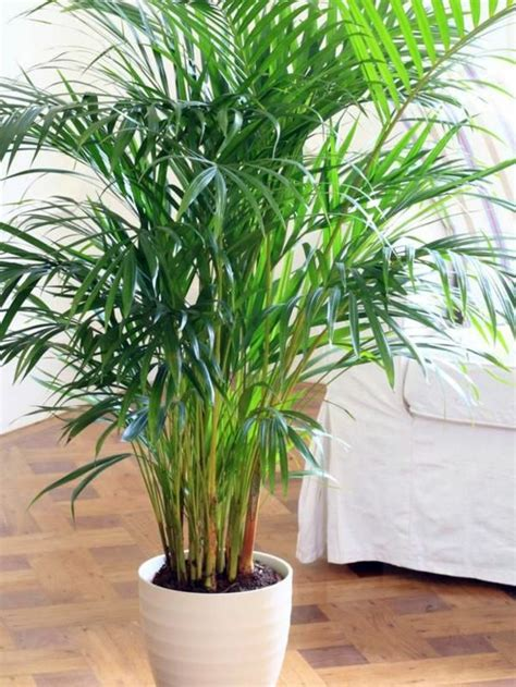 types of indoor plants indoor palm images which are the typical types of palm