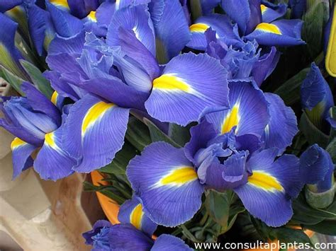 imagenes de flores iris 404 error 404
