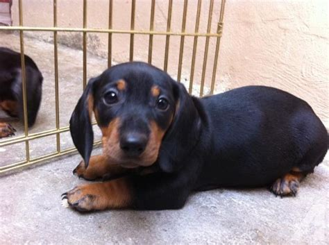 dachshund puppies for sale in california dachshund puppies for sale in chula vista california classified americanlisted