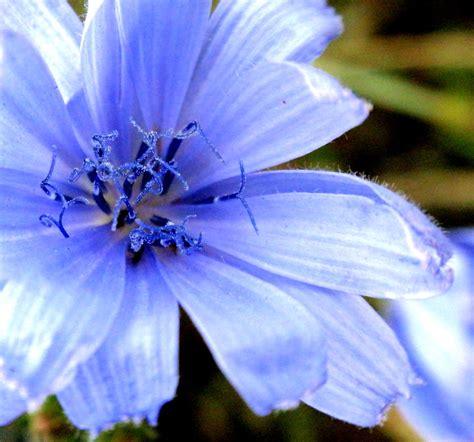 blue flower  cichorium intybus common chicory