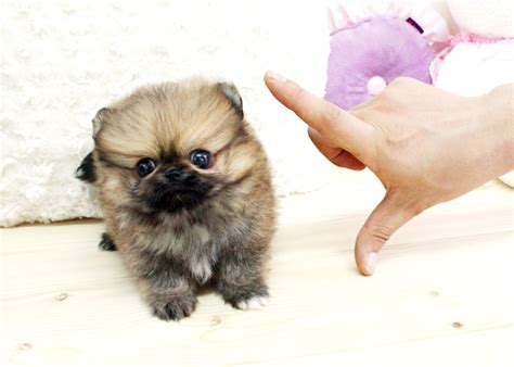 teacup pomeranian free teacup pomeranian 20 free wallpaper dogbreedswallpapers