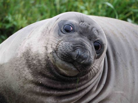 the sea l guest post 10 facts about northern elephant seals