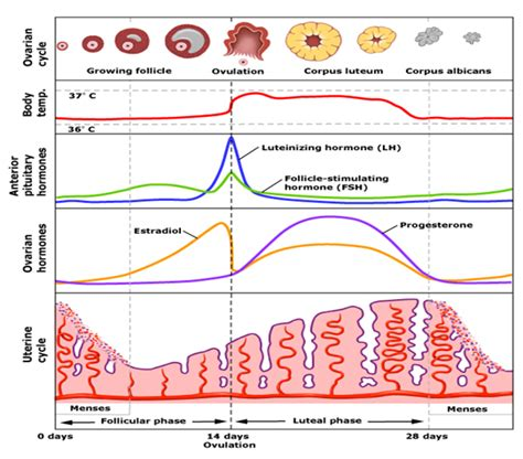 hormone cycle diagram menstrual cycle an important process of human reproduction