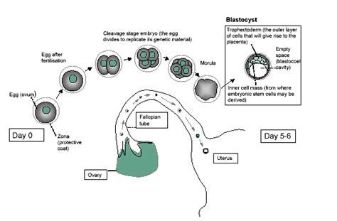 implantation diagram blastocyst implantation diagram pictures to pin on
