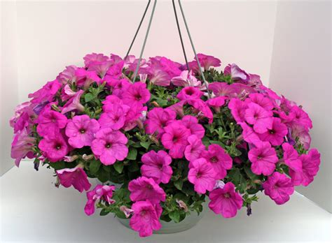 hanging baskets 11 quot 187 dickman farms