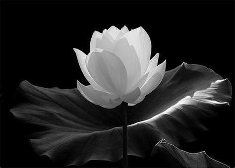 imagenes en blanco y negro de flores flower flickr photo sharing