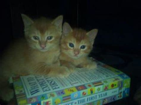 Giveaway Kittens Brisbane - for sale playfull ginger maine coon x domestic kitten