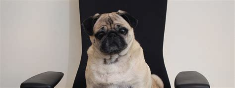 why are pugs so why are there so many pugs meet wednesday our mascot medialoot