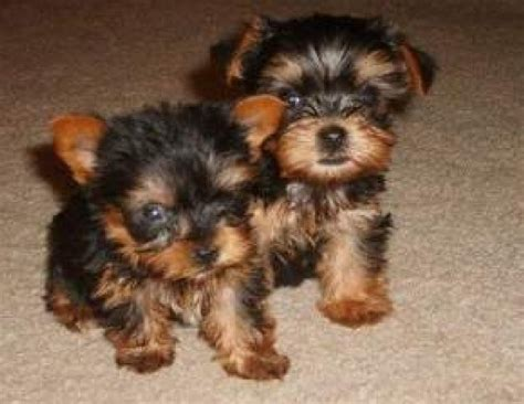 free teacup yorkies puppies teacup yorkie puppies for free home adoption