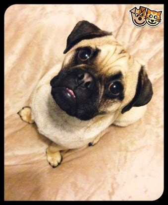 pugs for sale in brighton 1 year pug for sale brighton east sussex pets4homes