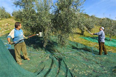 cassette raccolta olive file raccolta olive a montopoli jpg wikimedia commons