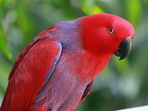 paris eclectus parrot