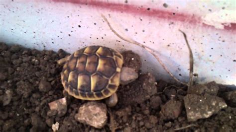 terrario per tartarughe di terra giardino baby testudo hermanni piccola e grande tartaruga di terra