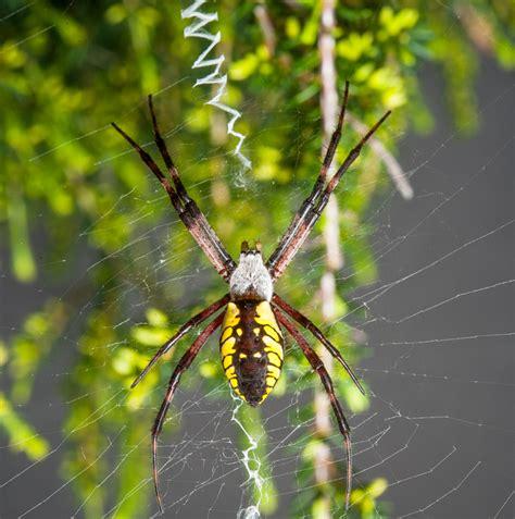 Garden Spider Belly Garden Spiders Weavers Of Delicate Webs