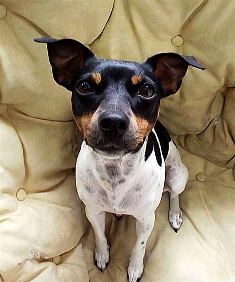 File:Laika - Peteca do Terra de Vera Cruz - Terrier ...