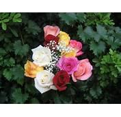 Datoonzcom = Jardins De Rosas Todas As Cores  V&225rias
