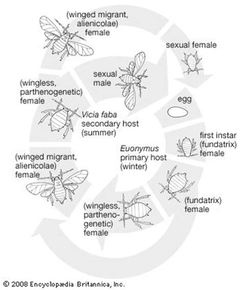 cycle of aphids diagram cycle black bean aphid credit encyclop 230 dia
