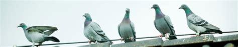 Foundation Pigeon hooymans pigeons foundation pair hooymans pigeons