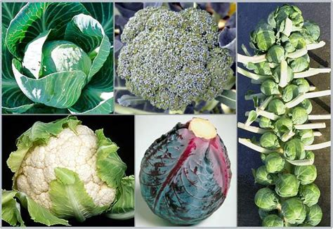 kale broccoli and cabbage replace traditional flowers as organic broccoli plants organic cauliflower plants