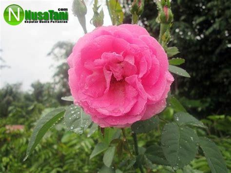 perkembangbiakan tanaman bunga mawar nusatanicom